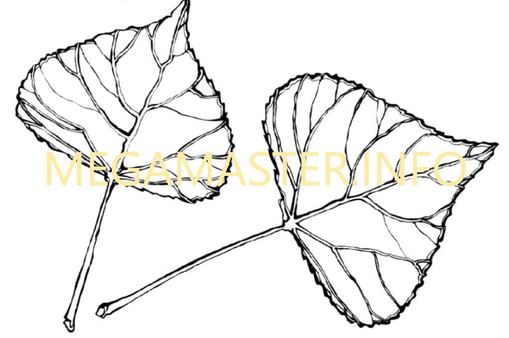 Листья тополя