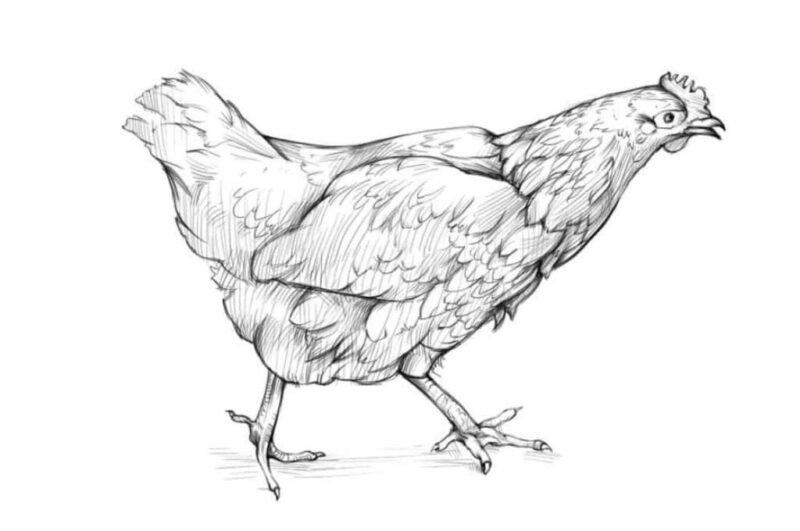 Как нарисовать курицу карандашом поэтапно